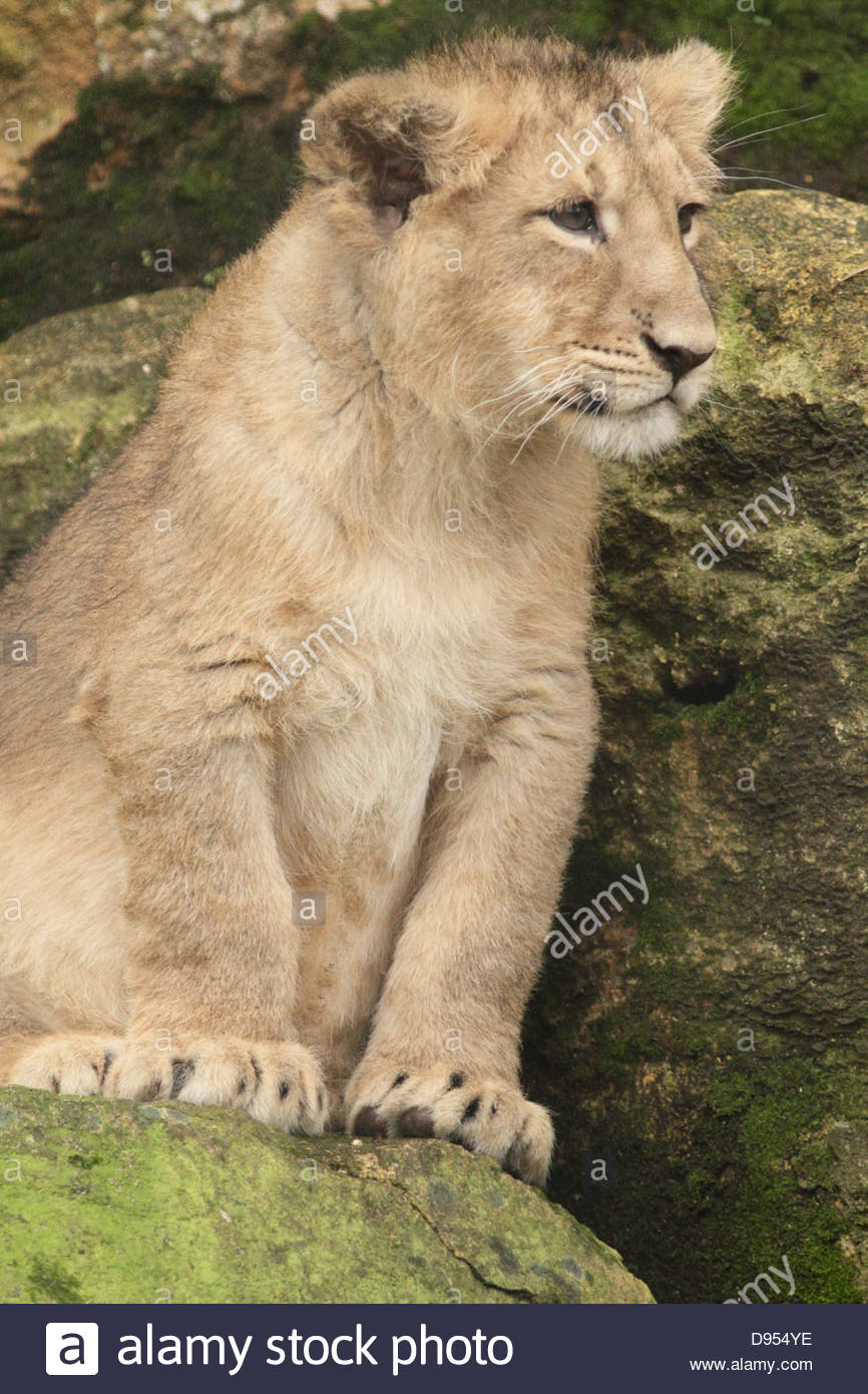 A young Asiatic Lion cub at Bristol Zoo. - Stock Image
