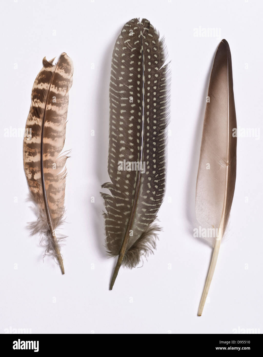 3 bird feathers Left is a Hen Wing Quill, Centre is Hen Pheasant, Right is Gray Duck - Stock Image