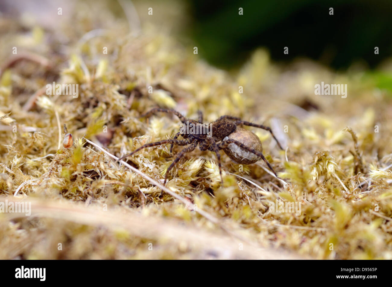 Pardosa amentata or Spotted Wolf spider with egg sack - Stock Image