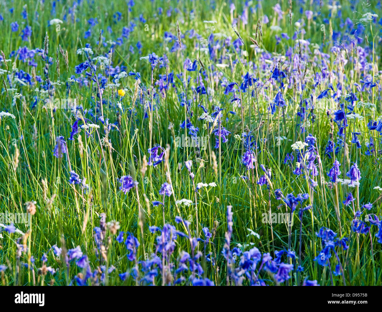 bluebells in Scottish meadow with dappled sunlight - Stock Image