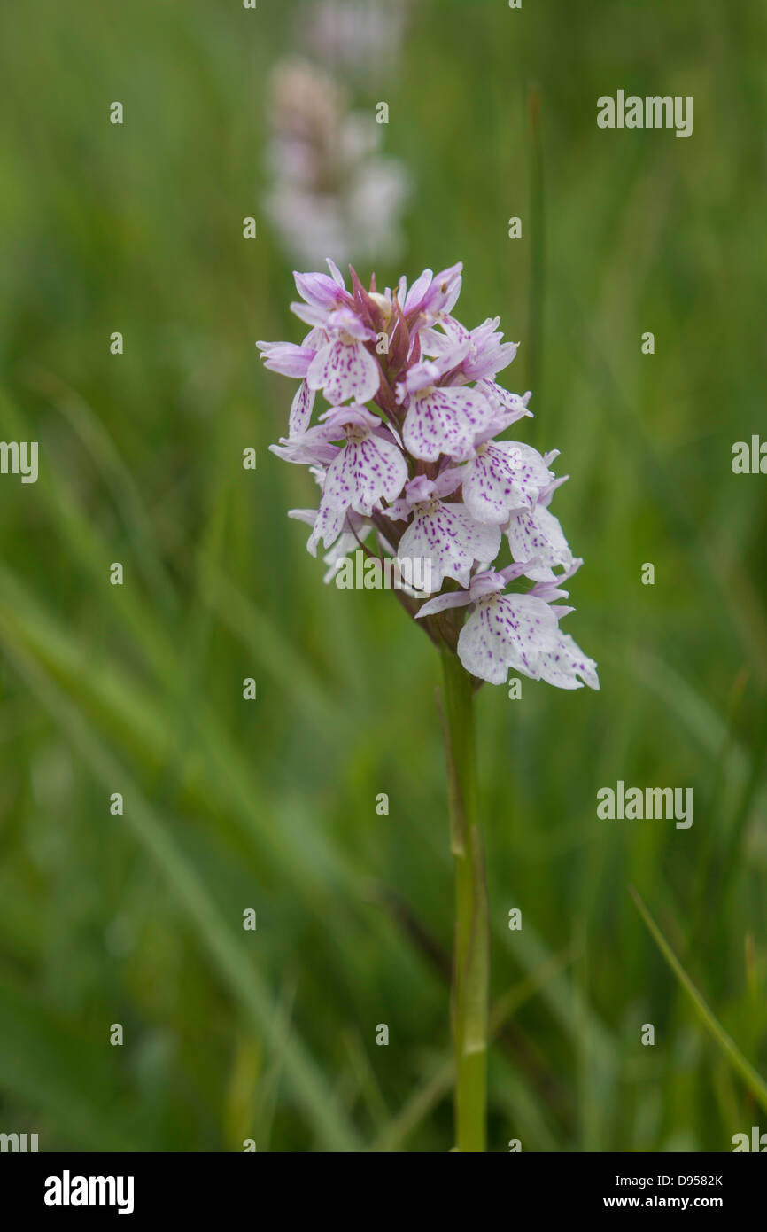 Double flower-heads of  robust Heath Spotted Orchids - Stock Image