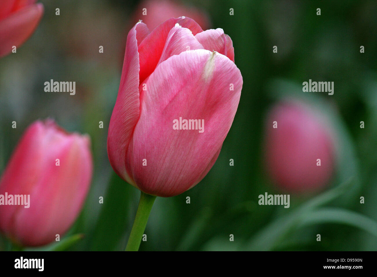 Tulip,Close-up of a single flower head of a Pink Tulip. - Stock Image