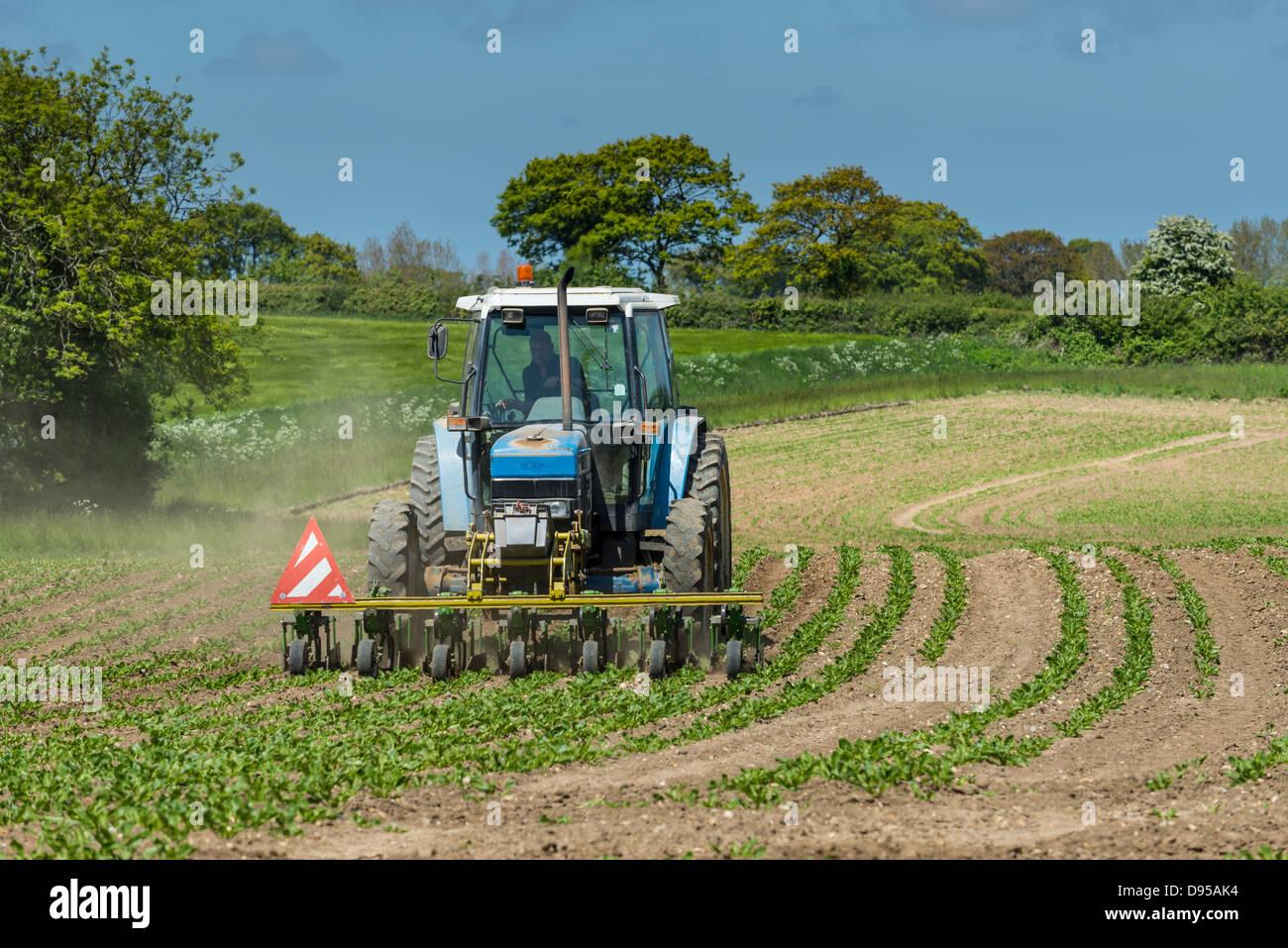 sugar beet, crop, weed, control, mechanised, hoe, tractor, - Stock Image
