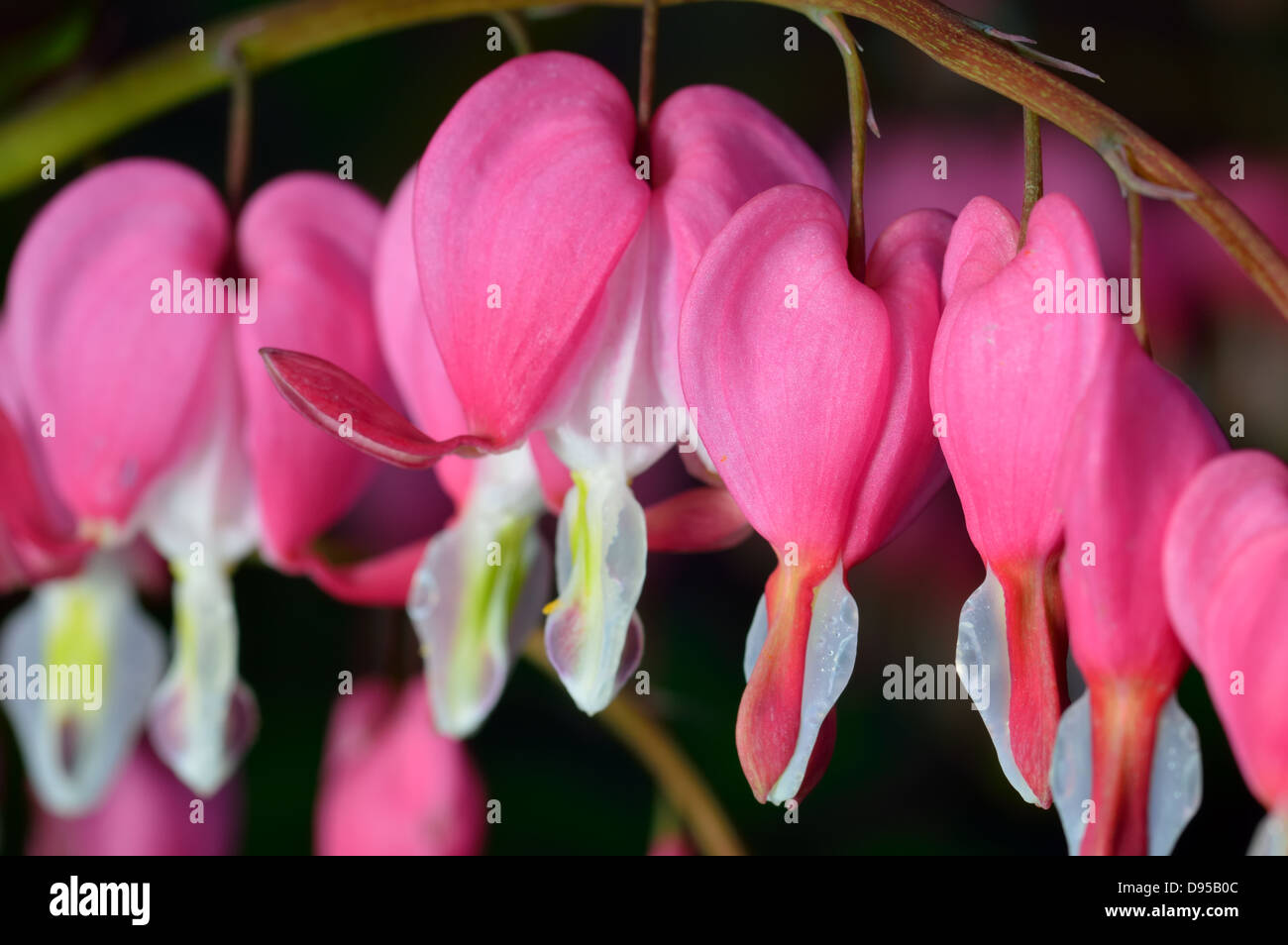 Pink flower. Lamprocapnos spectabilis (formerly Dicentra spectabilis) - Bleeding Heart in spring garden. Stock Photo