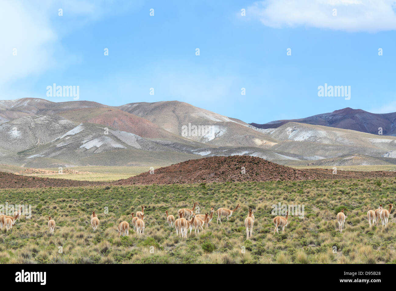 Vicunas, Salt Flat Tours, Altiplano, Southwest Bolivia - Stock Image