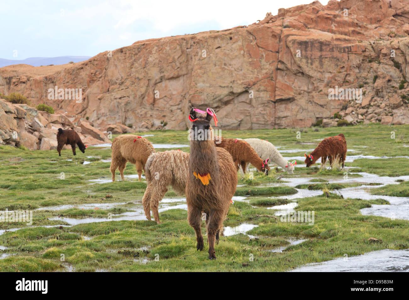 LLama, Salt Flat Tours, Altiplano, Southwest Bolivia - Stock Image