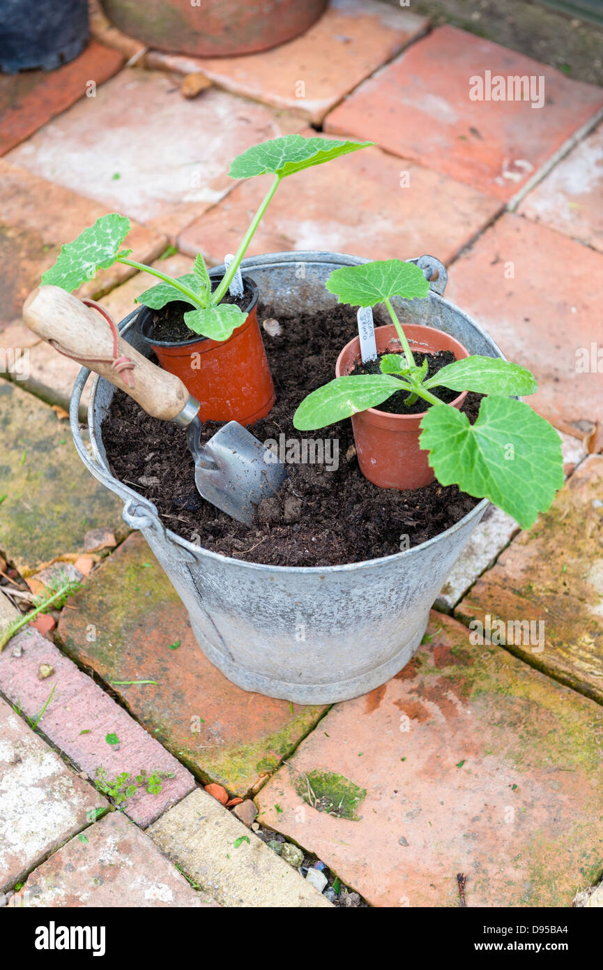 Two Courgette plants ready for planting out, with trowe, Norfolk, England, June - Stock Image