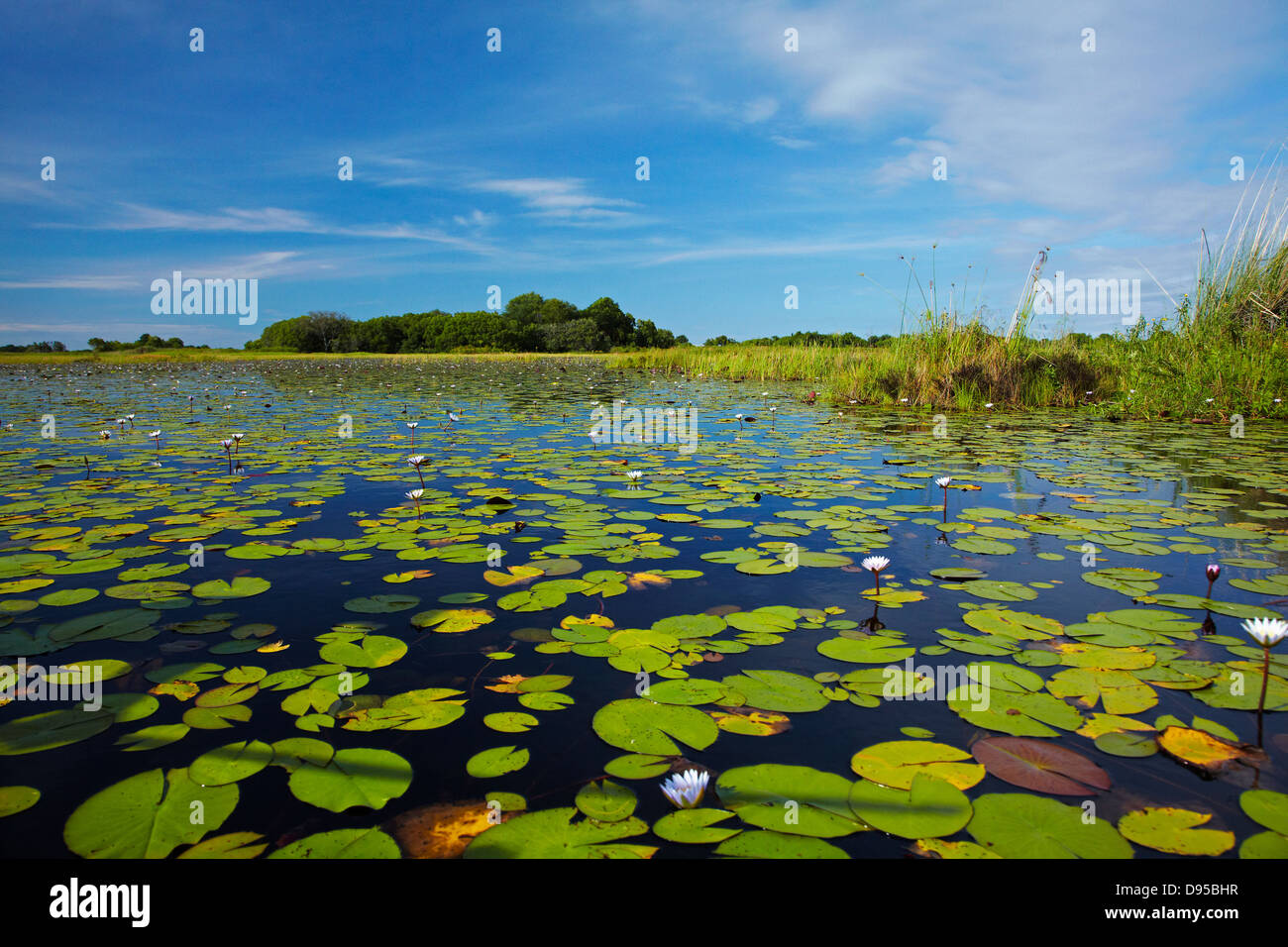 Water lilies, Okavango Delta, Botswana, Africa Stock Photo
