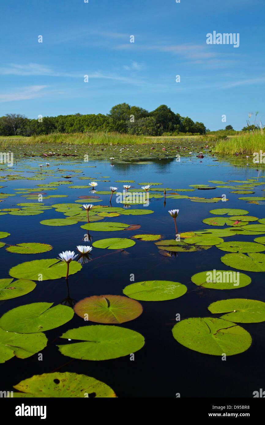 Water lilies, Okavango Delta, Botswana, Africa - Stock Image