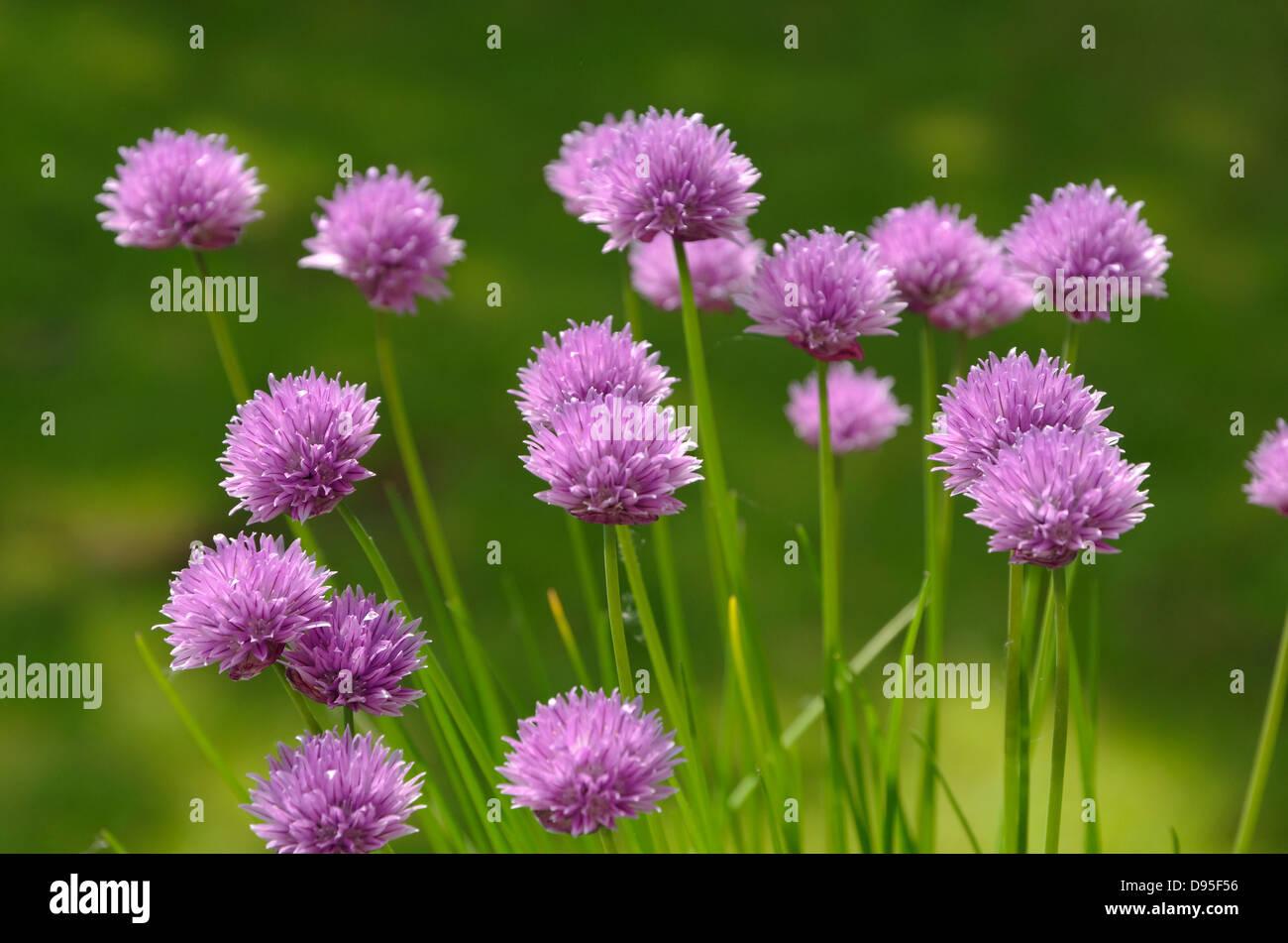 Flowers of Chives. Allium schoenoprasum - Stock Image
