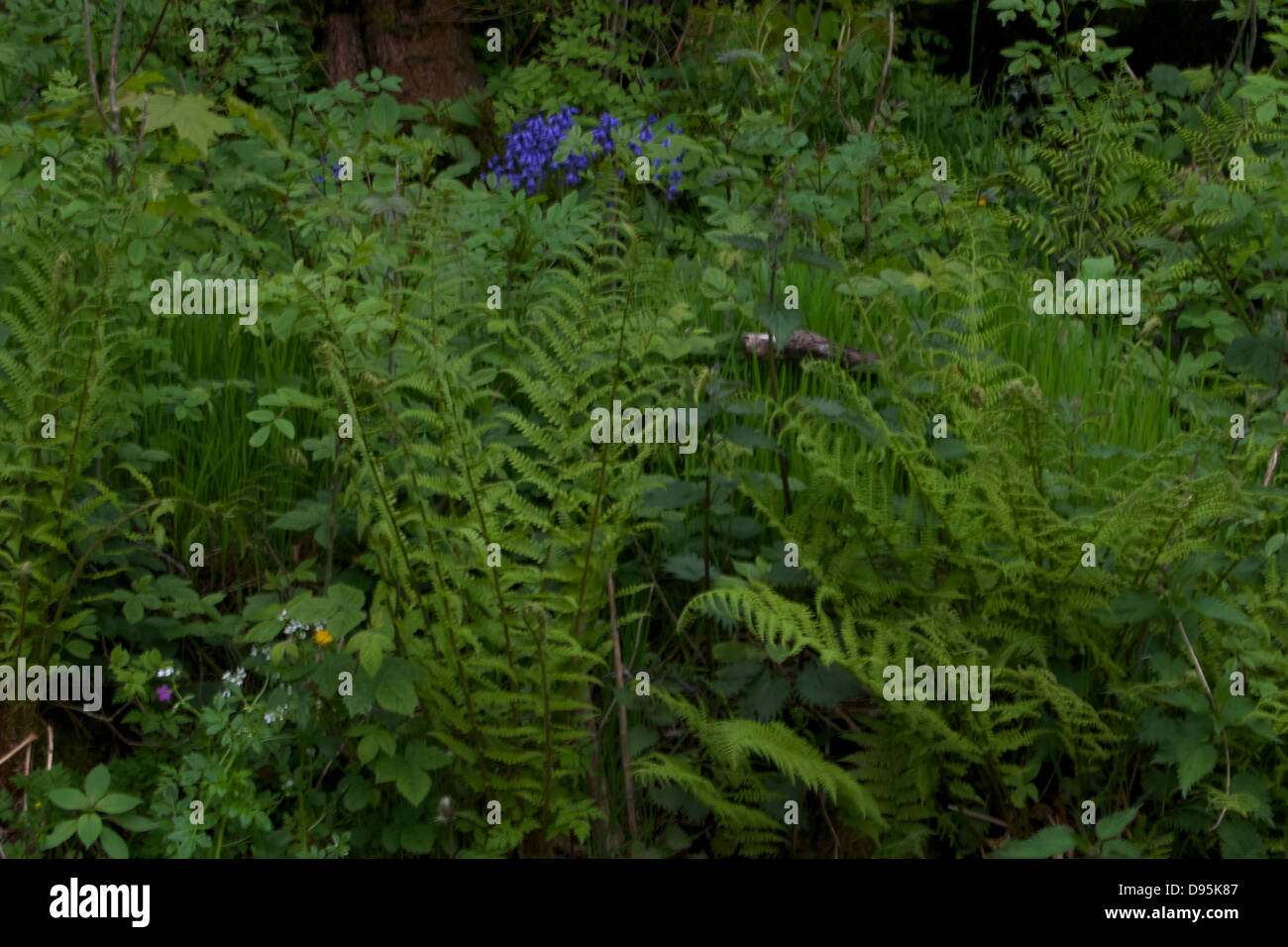 Bluebells in a woodland setting - Stock Image