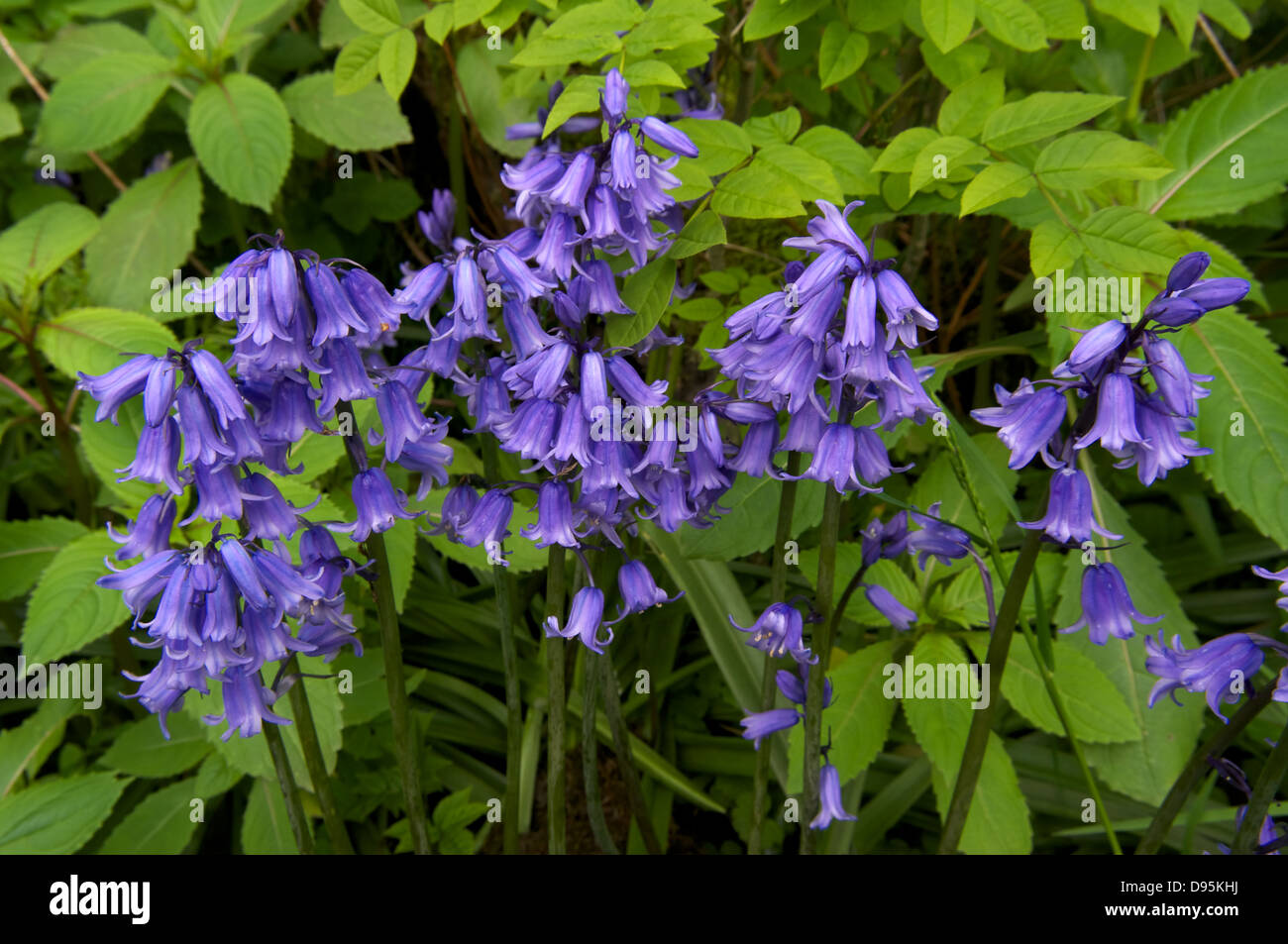 A small group of Bluebells - Stock Image