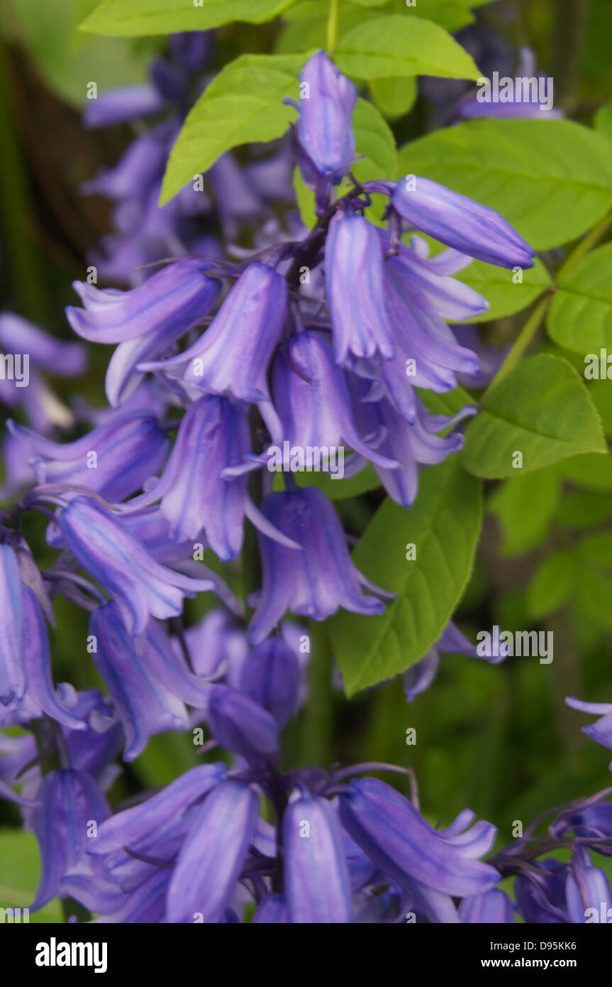 A small number of Bluebells in a group - Stock Image