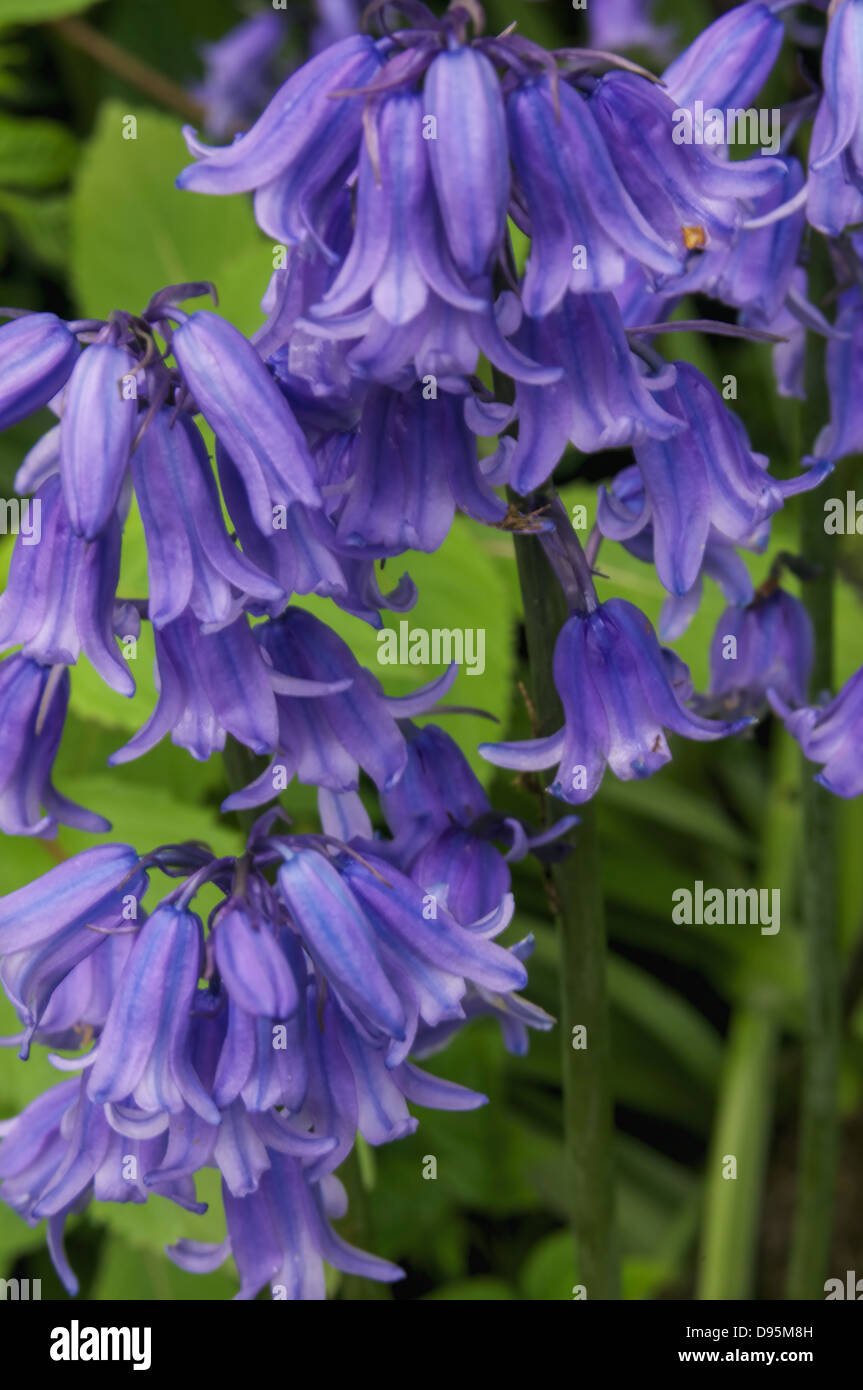 A small number of Bluebell stems together - Stock Image