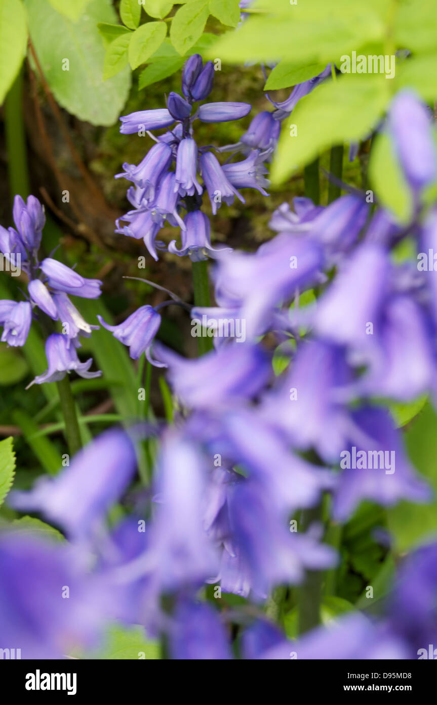 Bluebells in the undergrowth - Stock Image