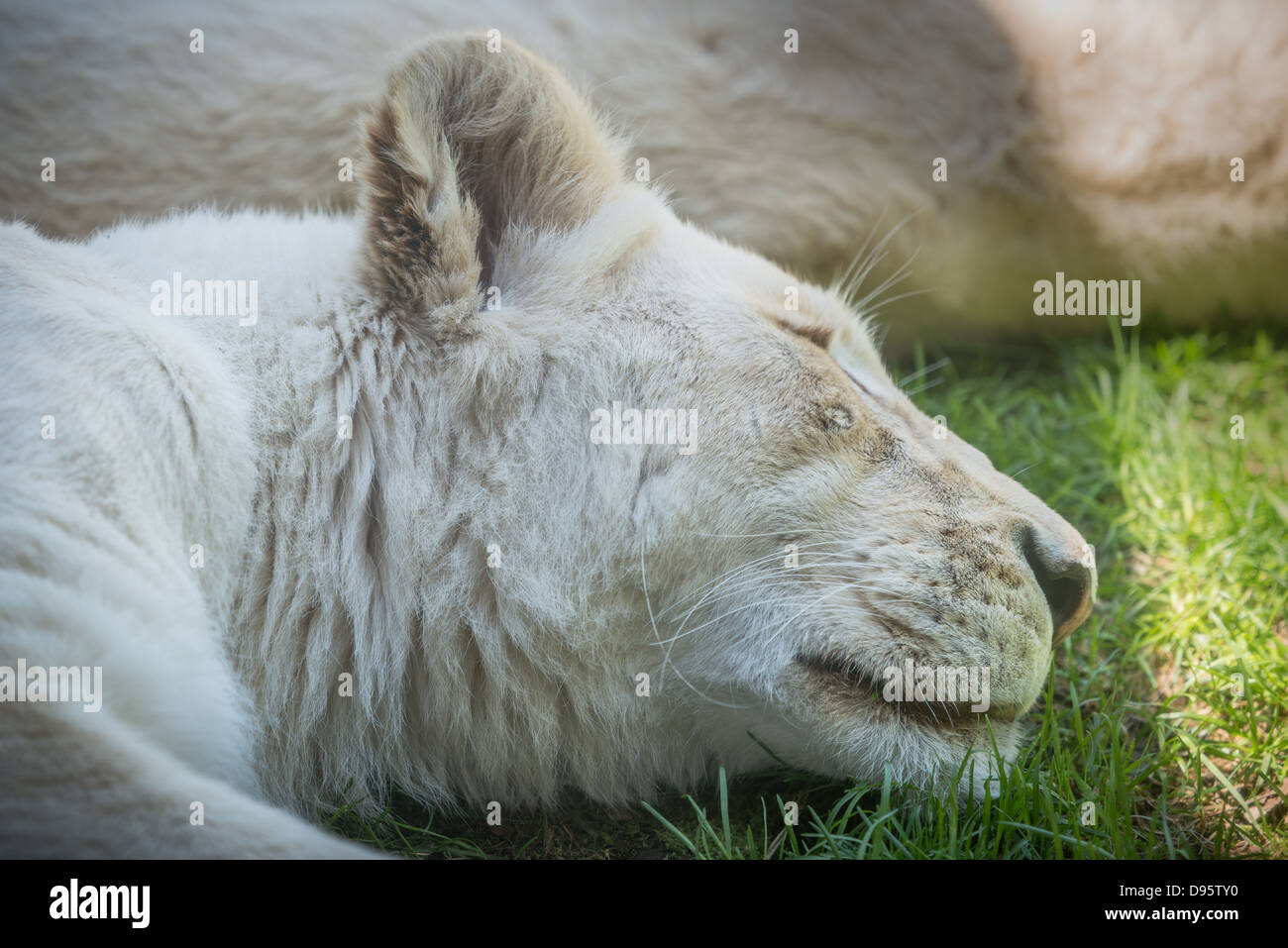 White Lion (Panterha leo krugeri) sleeps. A close up of a head on a grassy ground. - Stock Image
