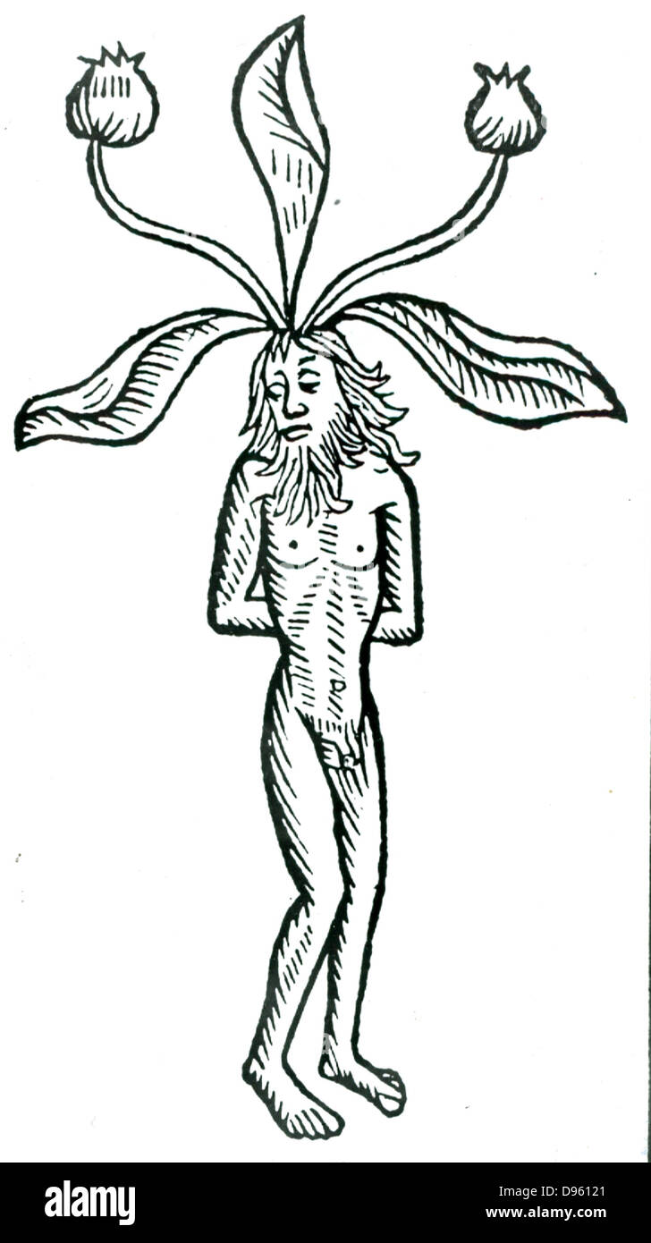 Male Mandrake plant.Woodcut from Johannis de Cuba 'Ortus Sanitatis', Strasbourg, 1483.  A soporific was - Stock Image