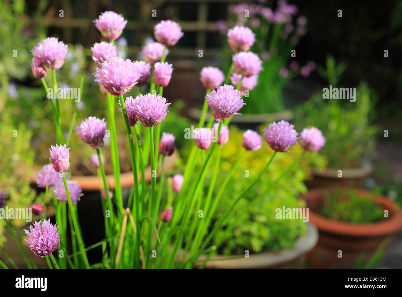 Chives flowering on a patio herb garden. - Stock Image