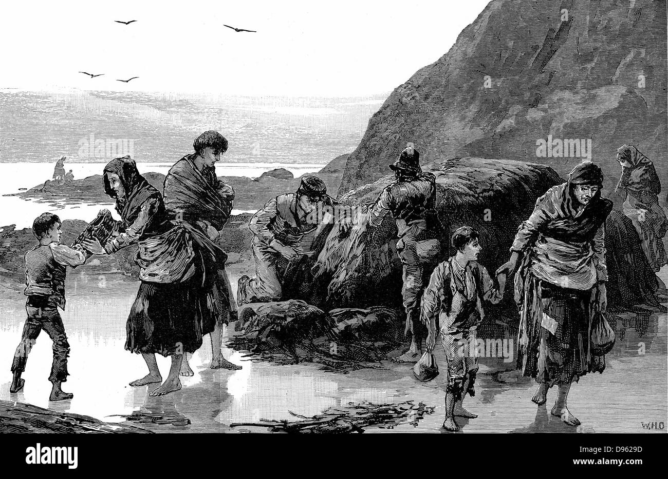 Distress in Ireland. Collecting limpets and seaweed for food in the west of Ireland after failure of the potato - Stock Image
