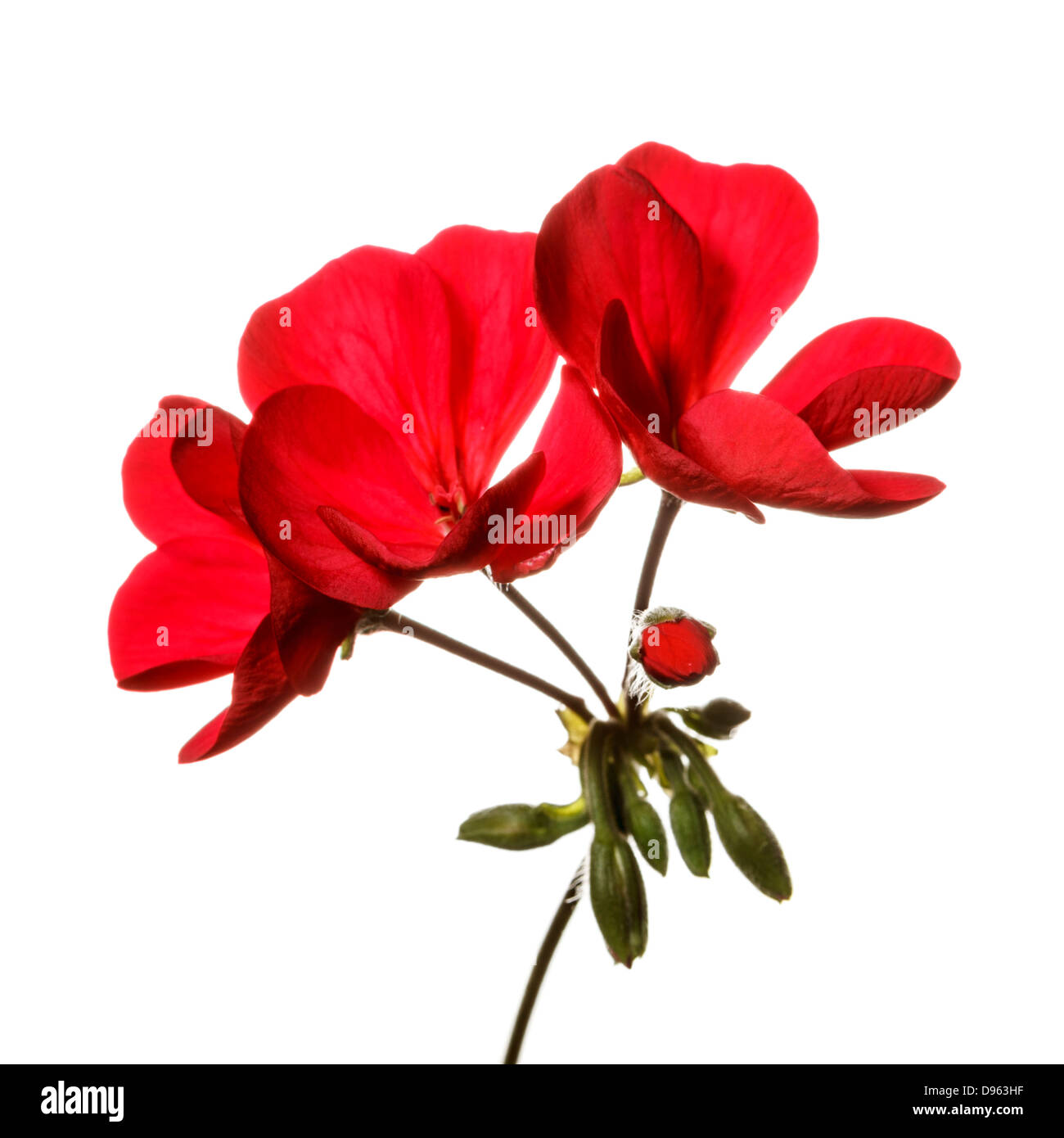 Red geranium flower set against pure white background - Stock Image