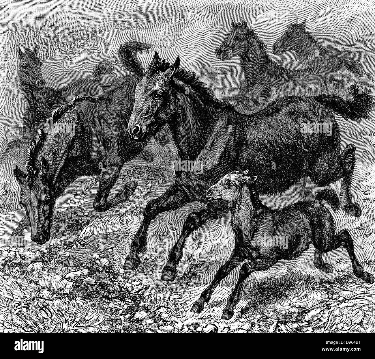 Genetic black and white stock photos images alamy herd of tarpan prehistoric wild horse of which died out in the late 1800s ccuart Image collections