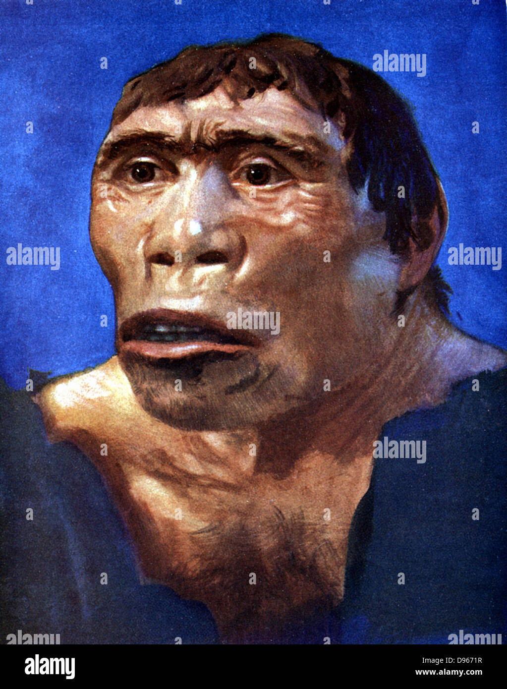 Reconstruction of Java Man (Pithecanthropus erectus) based on skull cap, thigh bone and 2 back teeth discovered - Stock Image