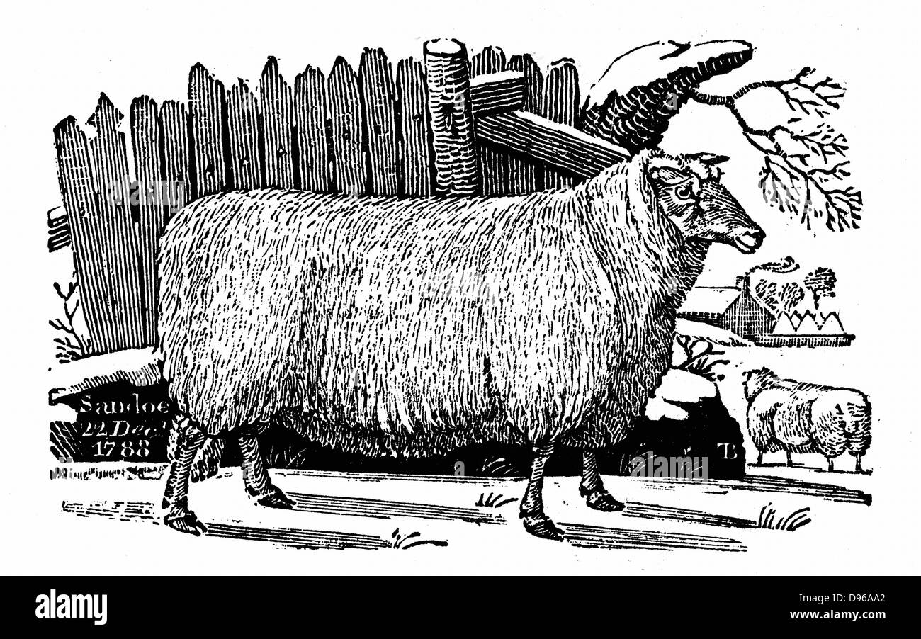 Dishley (New Leicester) sheep. Breed result of selective breeding programme by Robert Bakewell (1725-95) on his - Stock Image