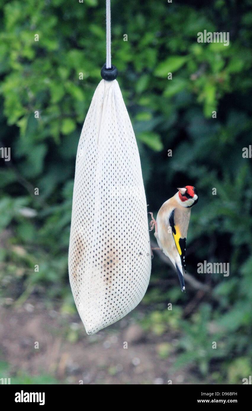 Goldfinch ( Carduelis carduelis ) on a Bird Feeder - Stock Image