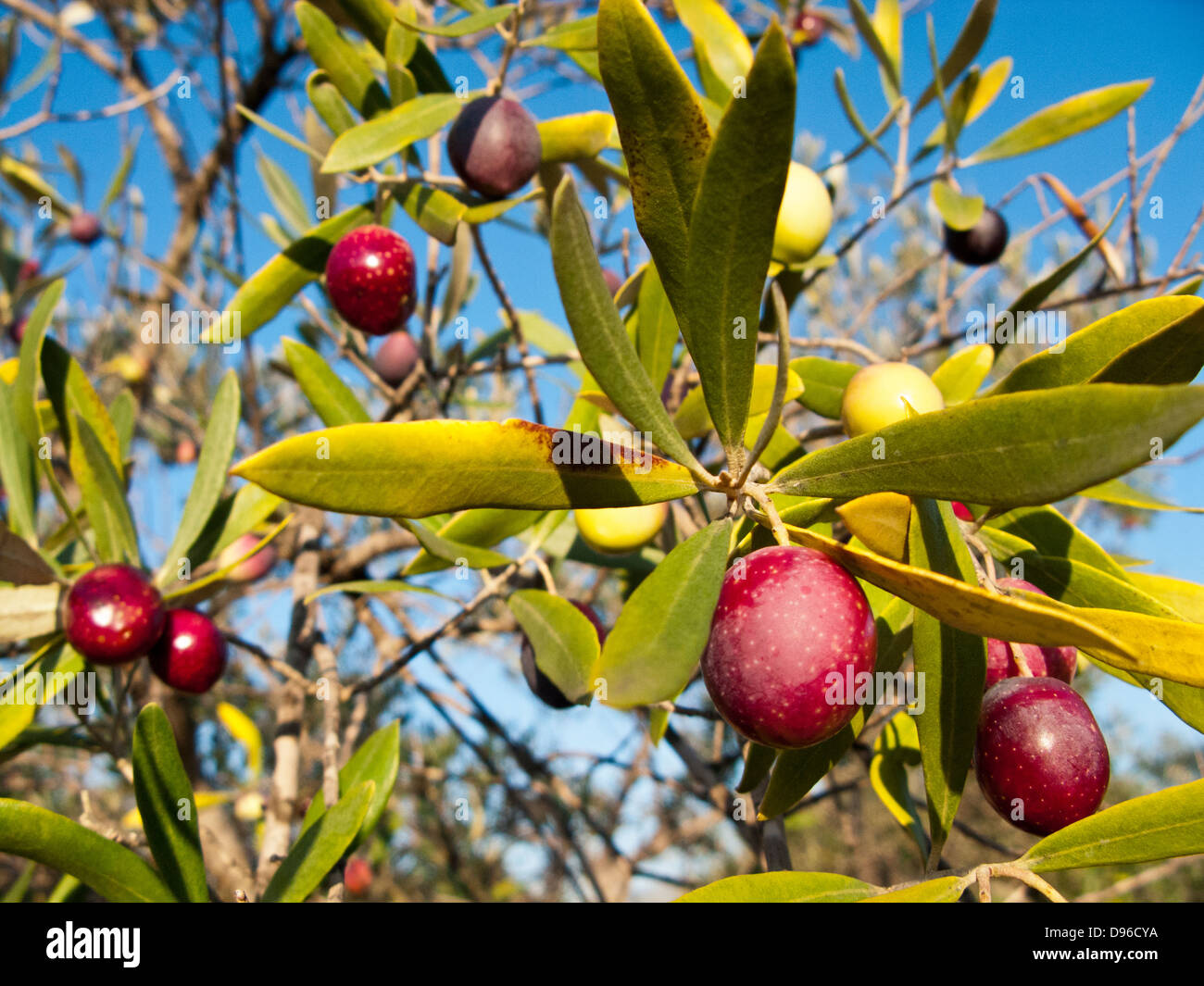 Olive tree. Tarragona province.Catalonia.Spain. - Stock Image