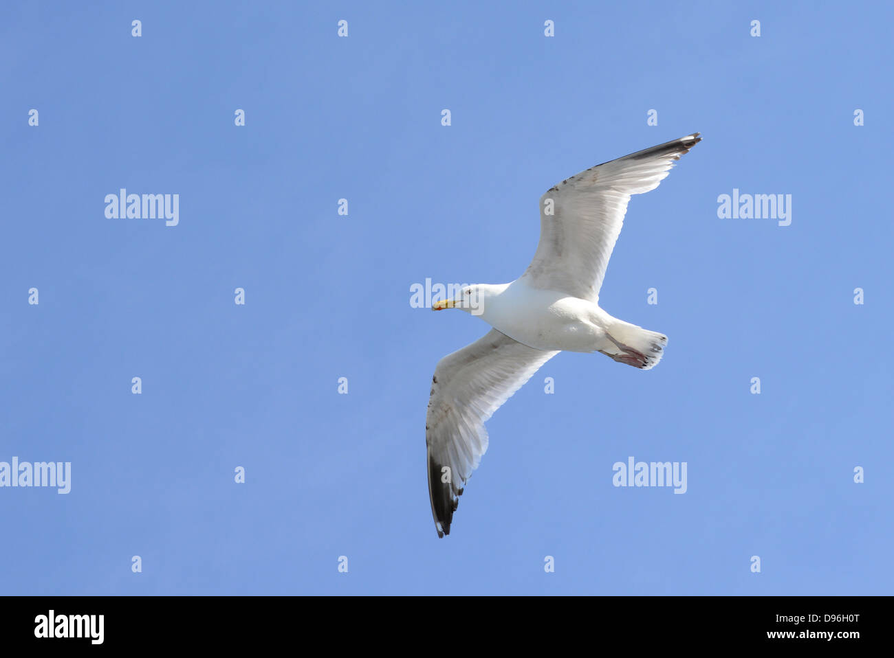 Seagull against a bright blue sky - Stock Image