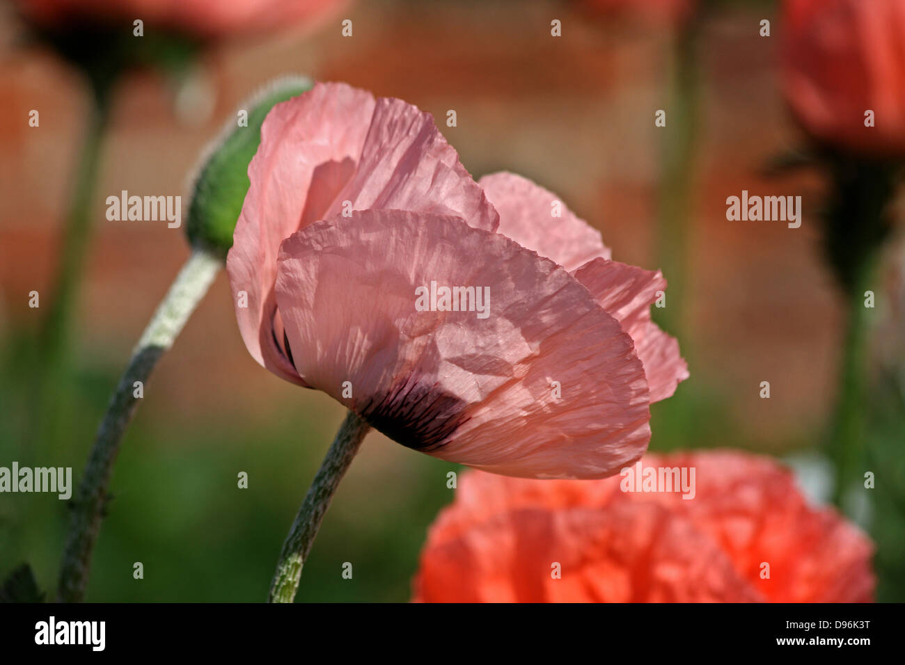 Poppy, Peachy/Pink Poppies in afternoon sunlight. - Stock Image