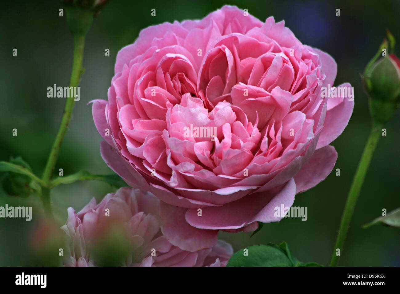 Pink Beauty Flower Single Rose: Double Rose Stock Photos & Double Rose Stock Images