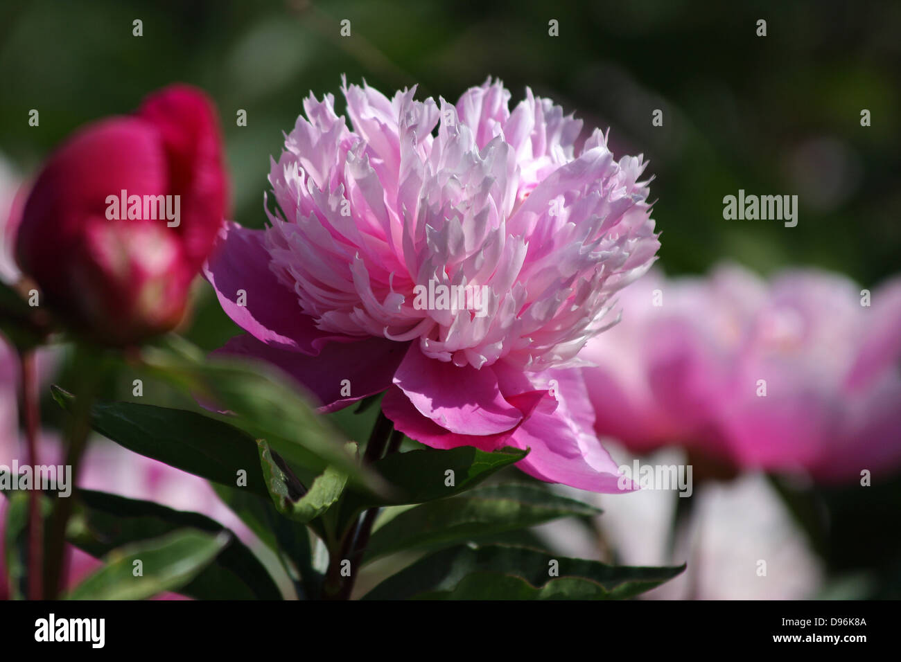 Pink Peony, Peonies with open flowers - Stock Image
