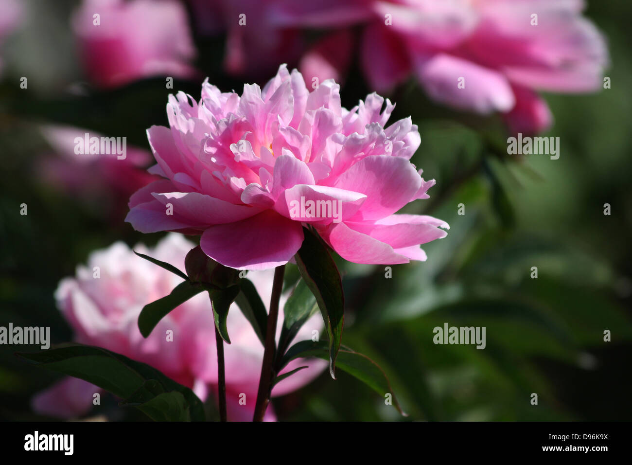 Pink Peony, Peonies with open flowers Stock Photo