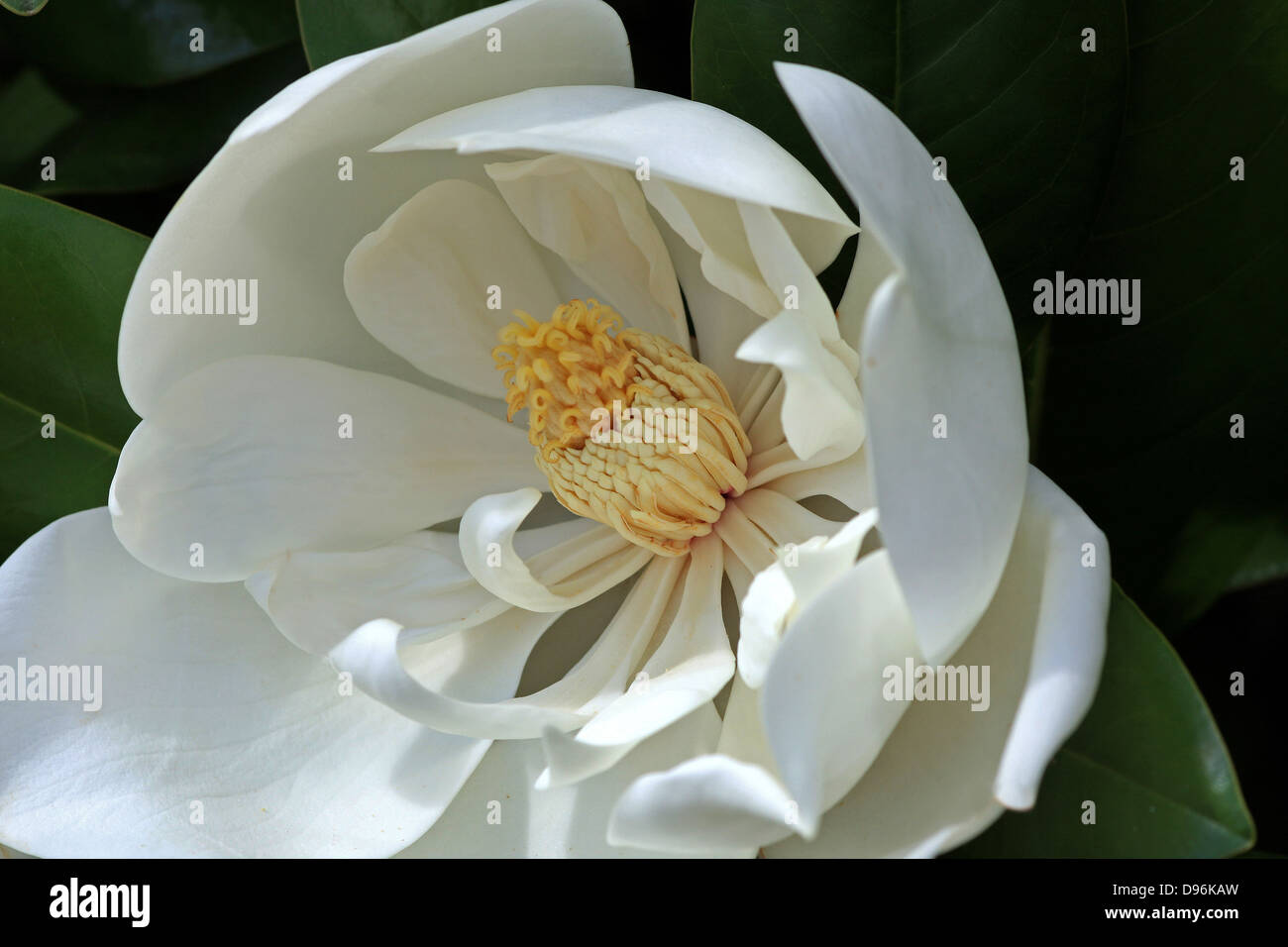 Magnolia Magnolia Grandiflora With Large White Flowers And A Stock