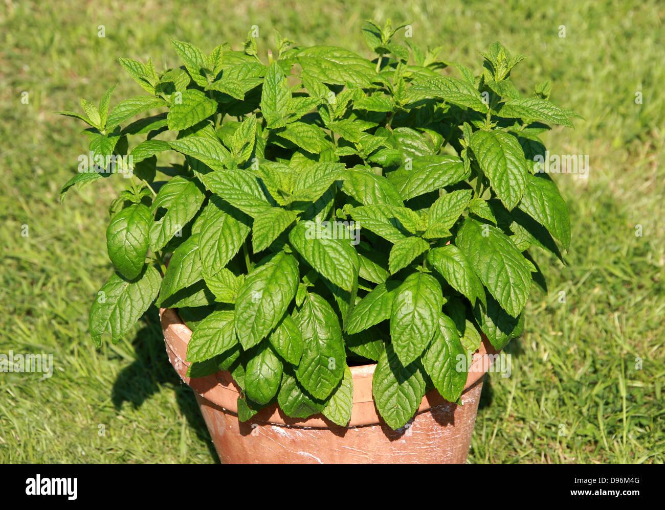 Planter Menthe En Pot mentha spicata pot stock photos & mentha spicata pot stock