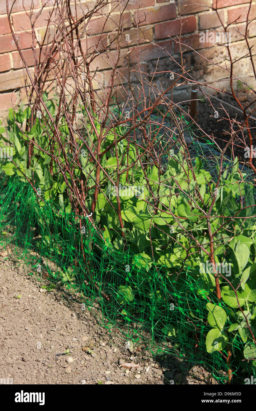 Garden Pea Plants Growing Up Twigs in an English Garden. - Stock Image