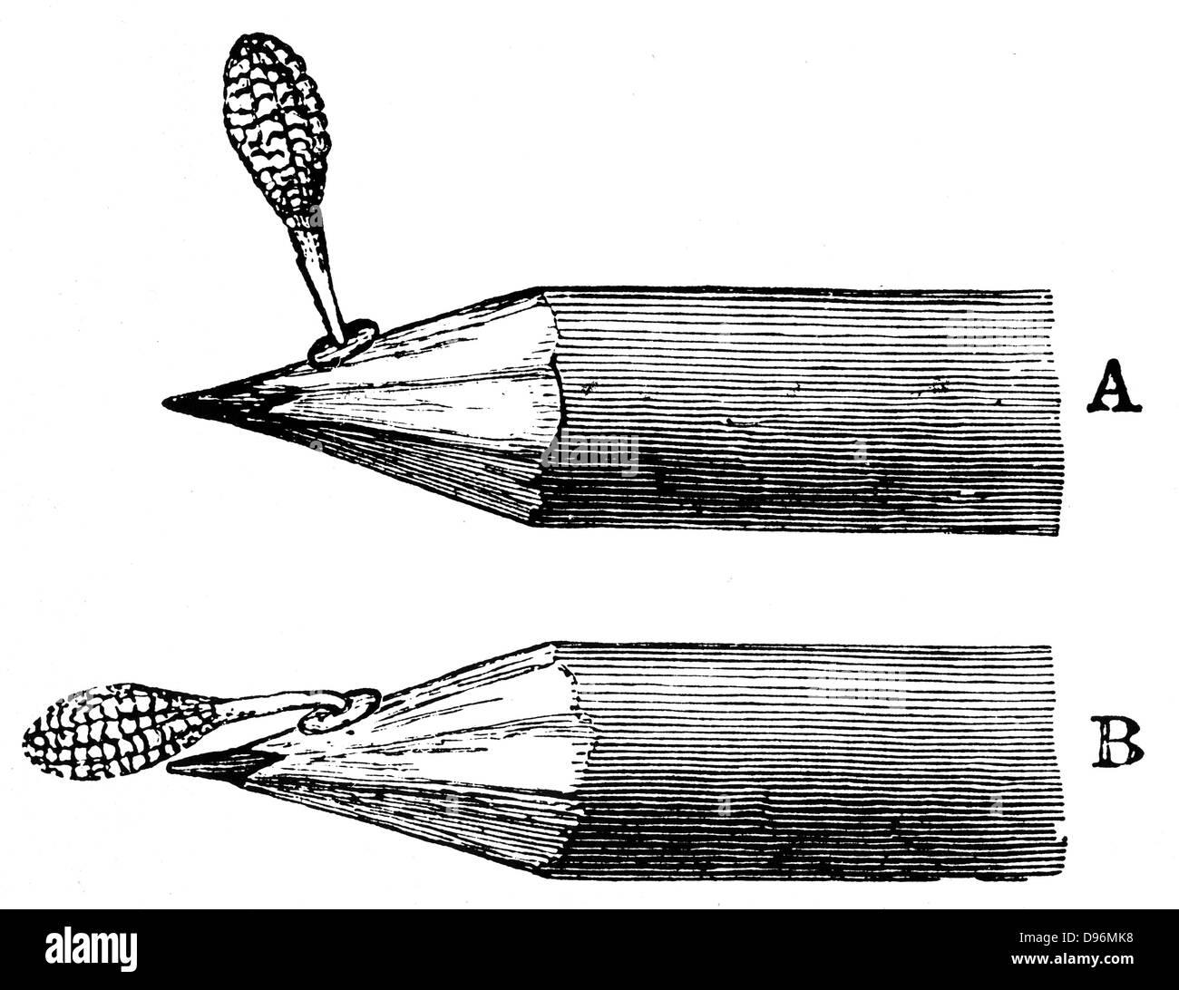 Pollen mass of Orchis mascula when first attached (A) and after depression (B). From Charles Darwin 'The Various - Stock Image