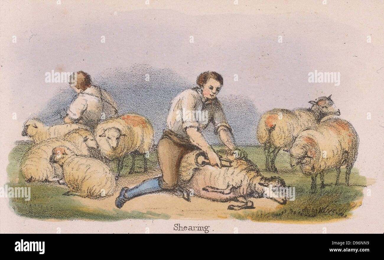 Shearing sheep. From 'Graphic Illustrations of Animals and Their Utility to Man', London, c1850. - Stock Image