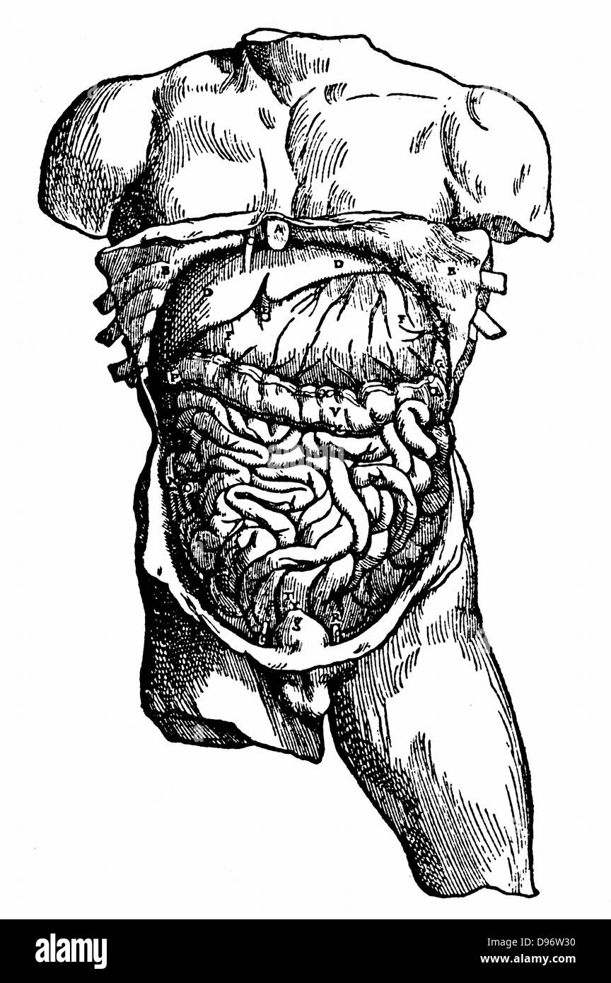 Abdominal cavity and its contents. From Andreas Vesalius 'De humani corporis fabrica ?' , Basle, 1543. Engraving. - Stock Image
