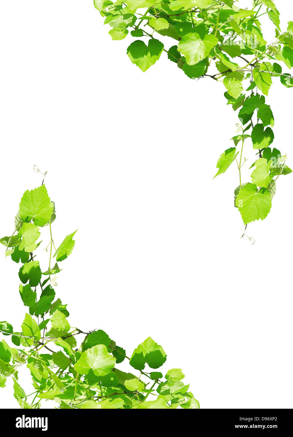 Young Hanging Grape Leaves On The Sun Frame Isolated On White Stock Photo Alamy