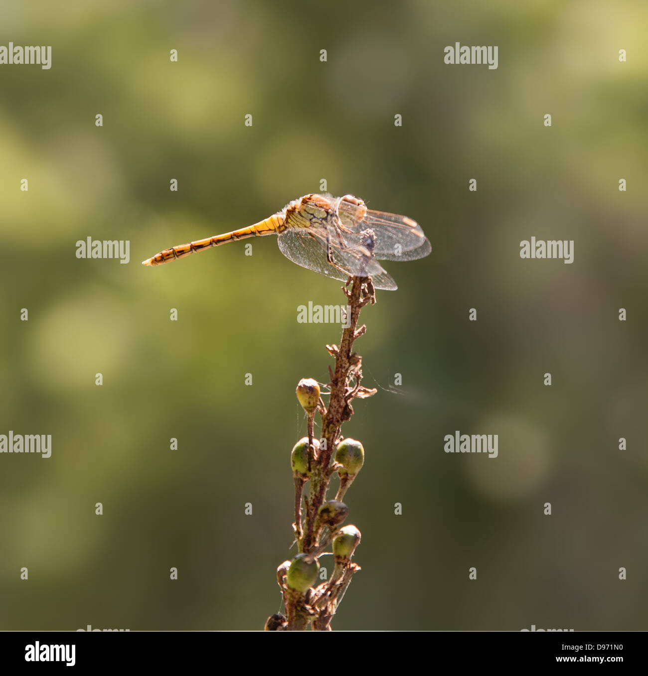 close up of a dragonfly, with wings forward, common darter Stock Photo