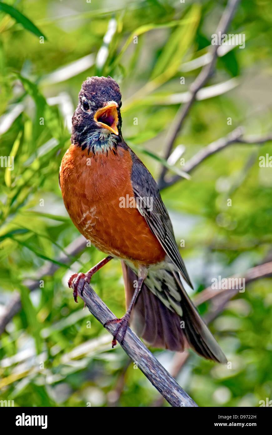 American Robin,Turdus migratorius sings - Stock Image