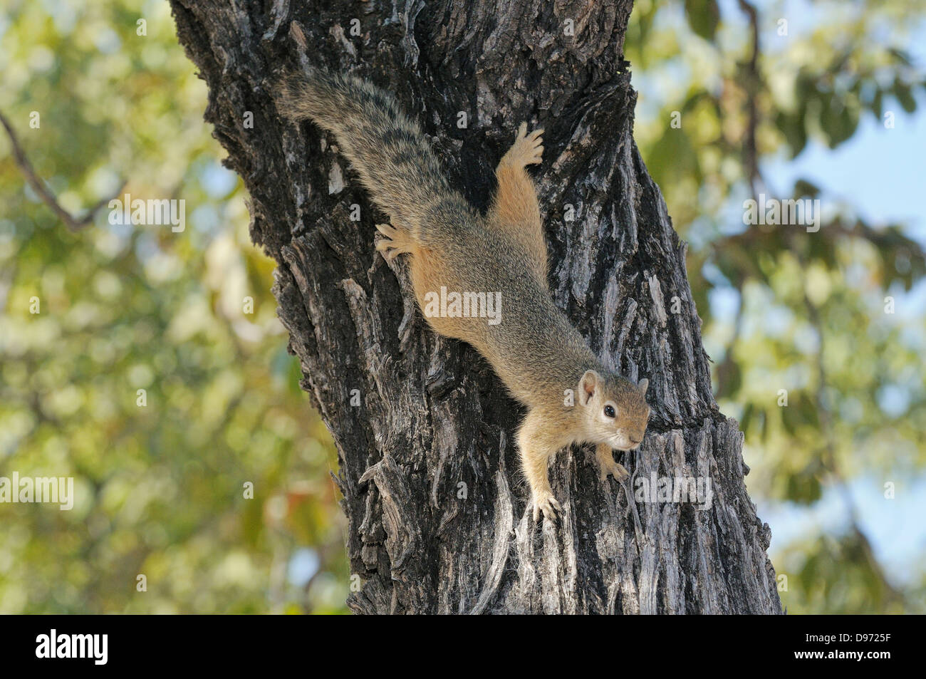 Tree Squirrel (Smith's Bush Squirrel) Paraxerus cepapi Photographed in Etosha National Park, Namibia - Stock Image