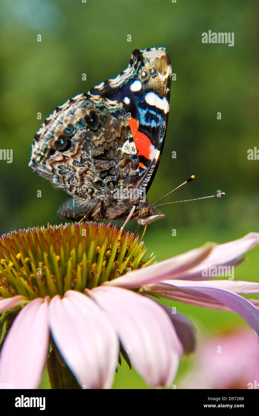 Red Admiral, Vanessa atalanta on Flower - Stock Image