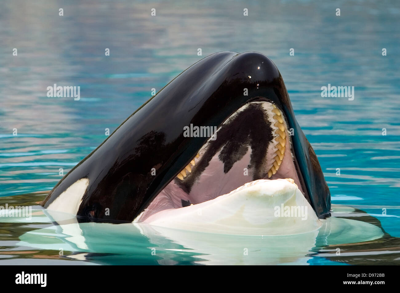 Killer Whale open mouth - Stock Image