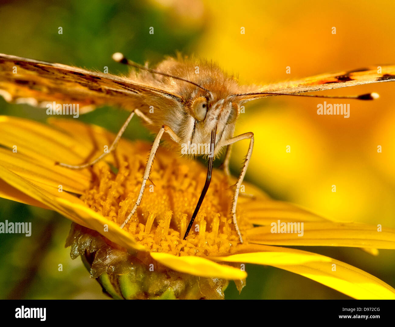 Painted Lady Butterfly, Vanessa cardui, Sucking nectar - Stock Image