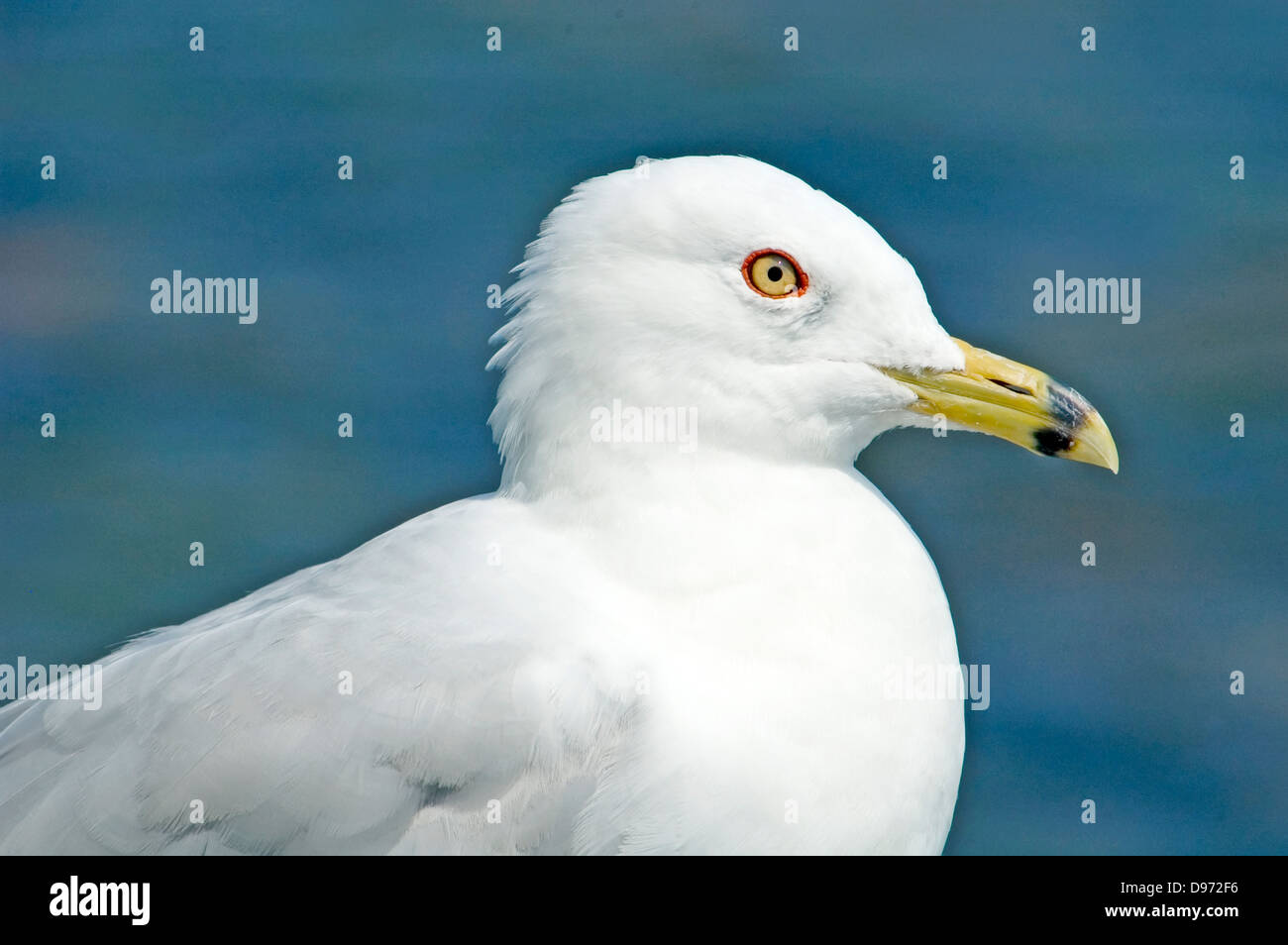 Ring billed  Gull , Larus delawarensis, Portrait - Stock Image