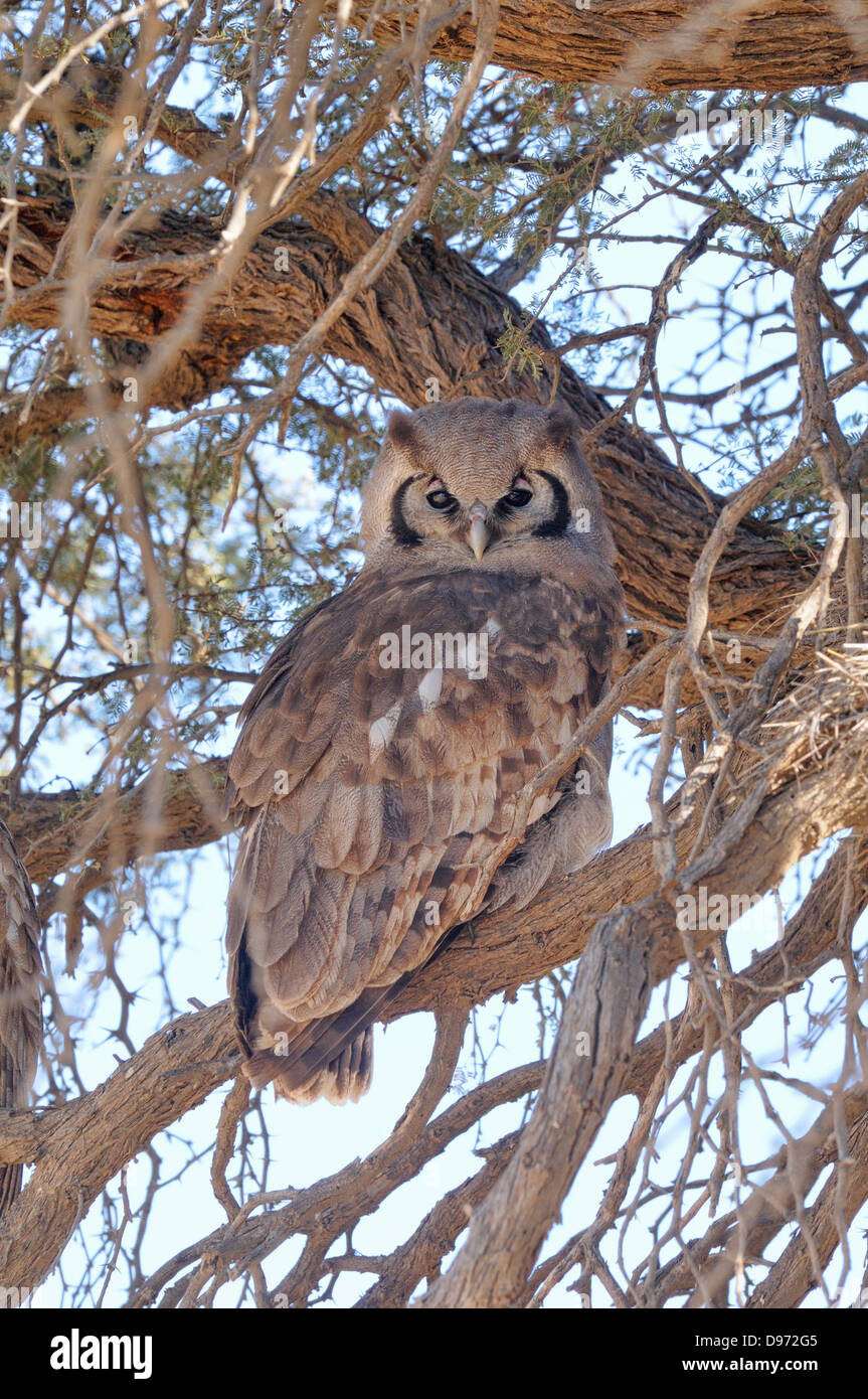 Verreaux's Eagle Owl Bubo lacteus Photographed in Kgalagadi National Park, South Africa - Stock Image