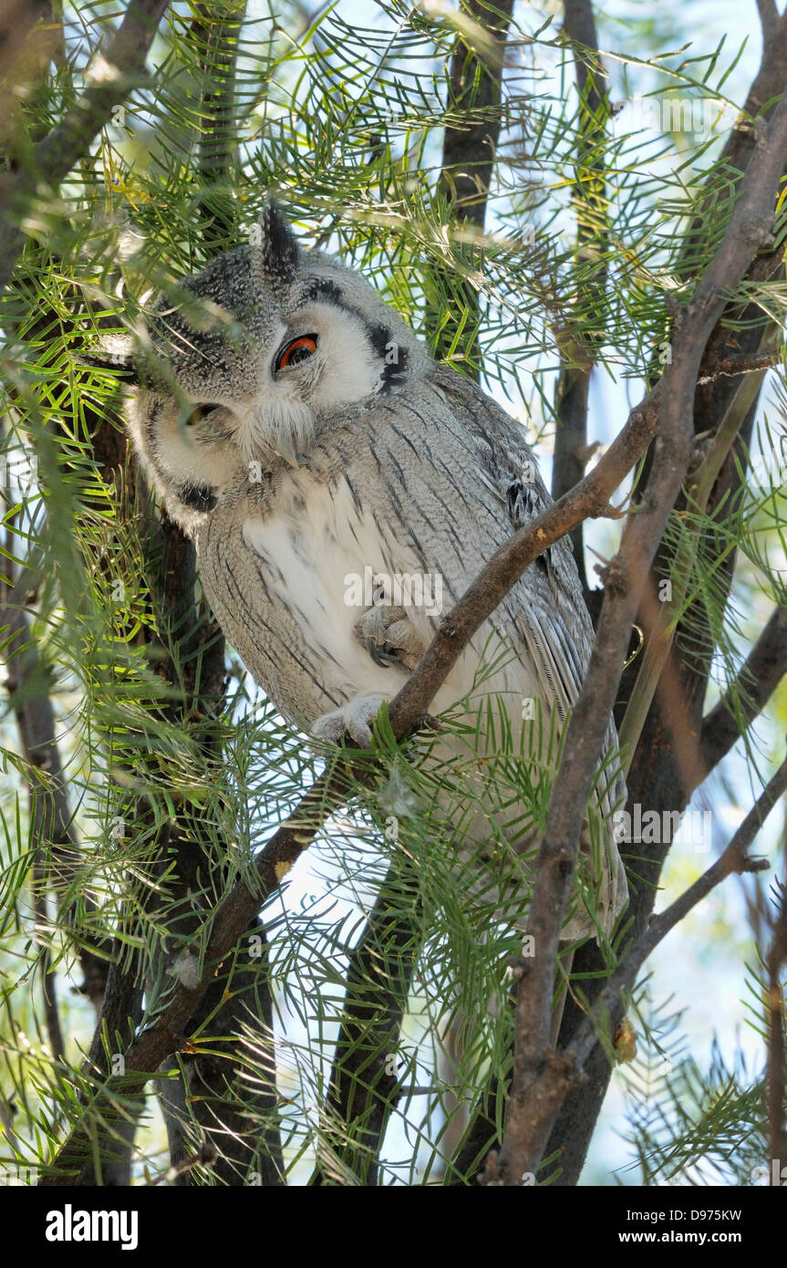 Southern White-faced Owl Ptilopsis granti Photographed in Kgalagadi National Park, South Africa - Stock Image